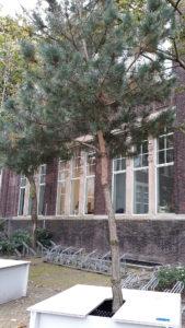 Pinus-sylvestris_DBK
