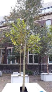 Quercus-cerris-Mervellous_DBK