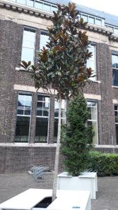 magnolia-grandiflora_dbk