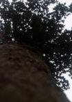 acer-campestre-dbk-skyview