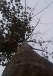 acer-cappadocicum-rubrum-dbk-skyview