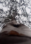 betula-utilis-var-jacquemontii-dbk-skyview