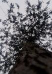 crataegus-monogyna-dbk-skyview