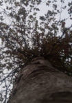 fagus-sylvatica-dbk-skyview