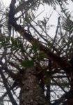metasequoia-glyptostroboides-dbk-skyview