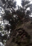 pinus-sylvestris-dbk-skyview