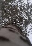 populus-alba-dbk-skyview