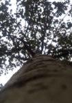 populus-x-canescens-de-moffart-dbk-skyview