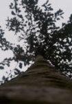 prunus-avium-dbk-skyview