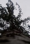 prunus-x-yedoensis-dbk-skyview