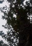 quercus-petrea-dbk-skyview