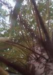 salix-x-sepulcralis-chrysocoma-dbk-skyview