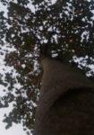 tilia-x-europaea-pallida-dbk-skyview